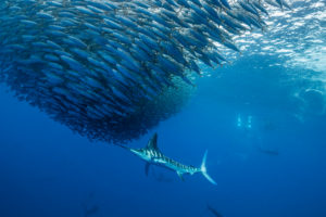 Large fish hunting small fish in a huge shoal